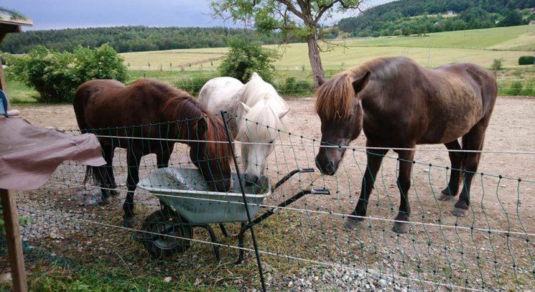 Pferde fressen aus Scheibtruhe